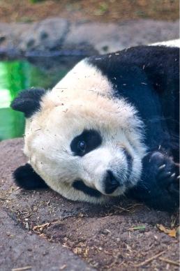Panda - Senpai